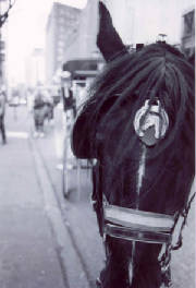 carriagehorse.jpg